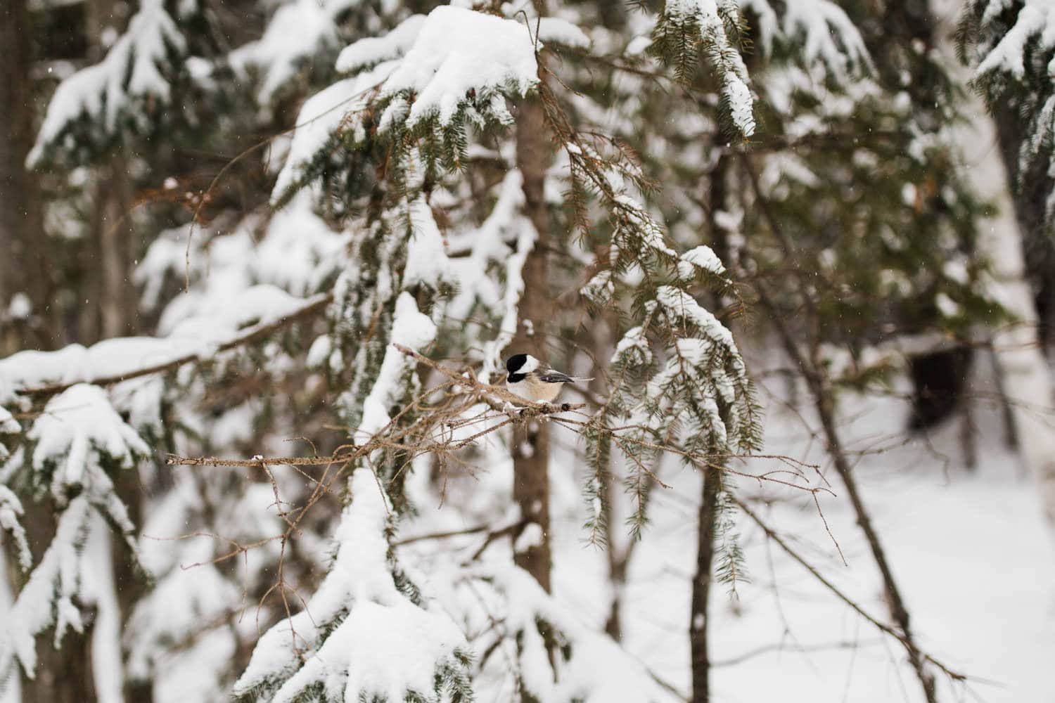 little chickadee on a snowy tree - winter engagement in ottawa