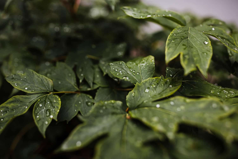 rain drops on green foliage