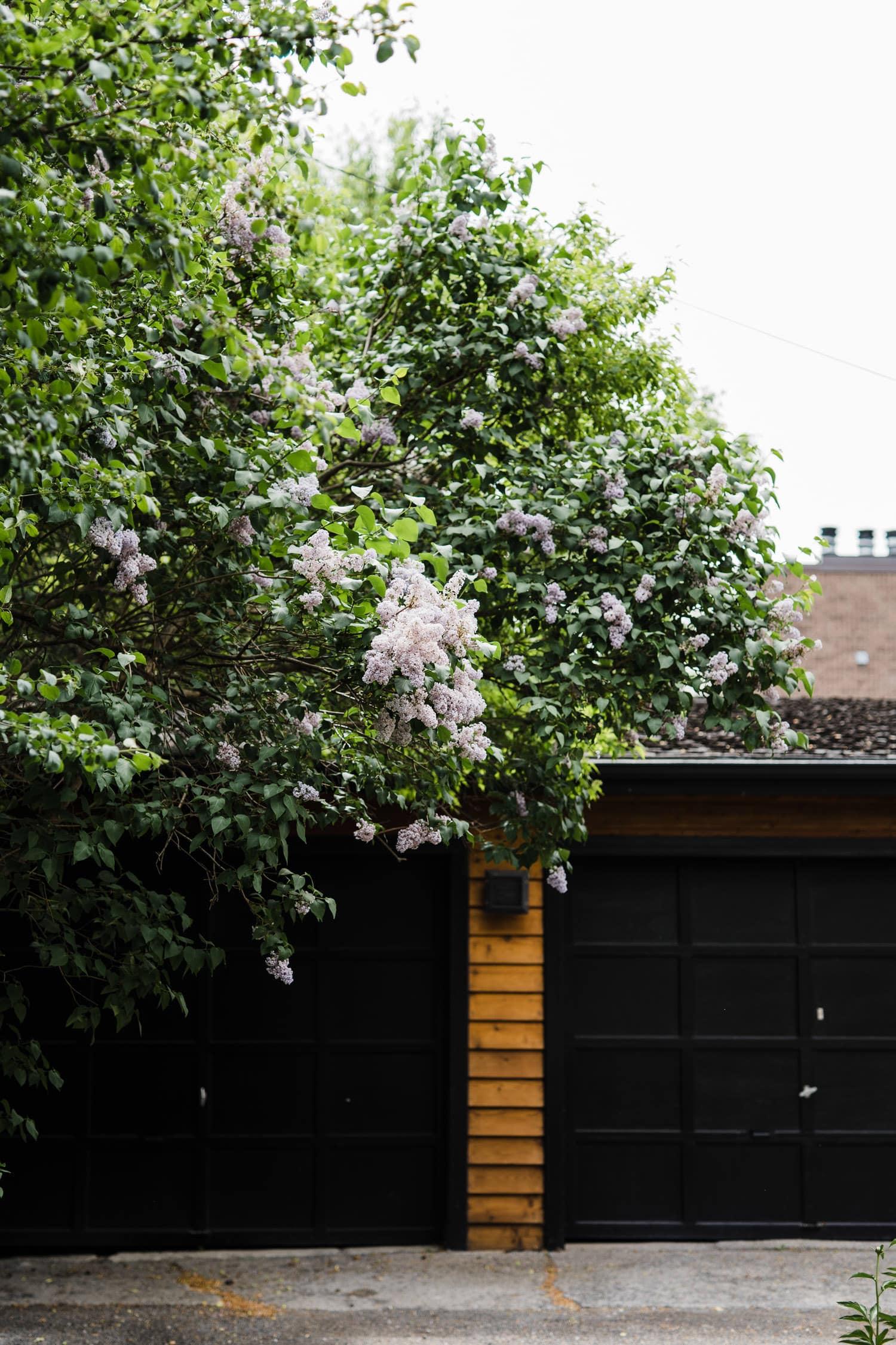 beautiful lilacs against black garage